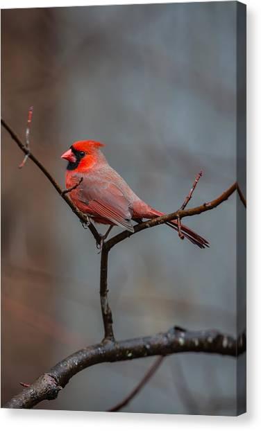 Cardinal Sing Canvas Print