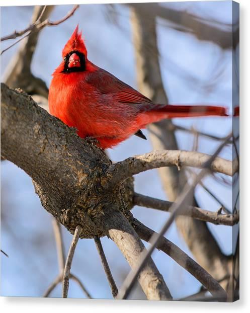 Cardinal Up Close Canvas Print