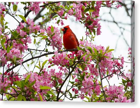 Cardinally Beautiful Canvas Print