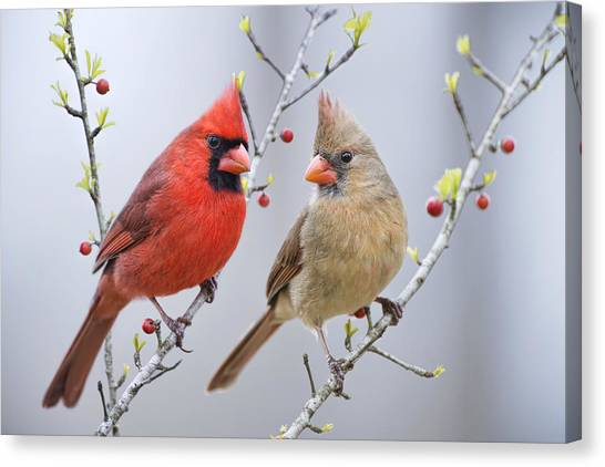 Cardinals In Early Spring Canvas Print