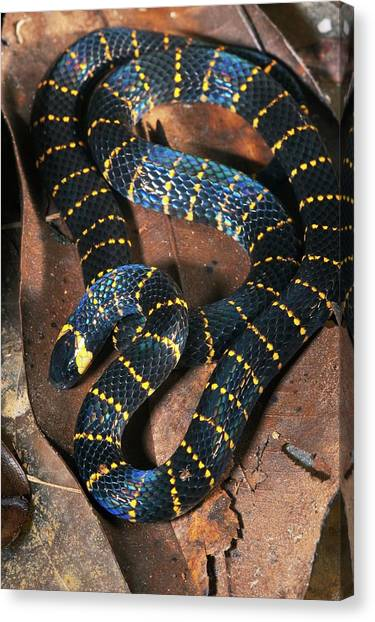 Coral Snakes Canvas Print - Carib Coral Snake by Philippe Psaila/science Photo Library