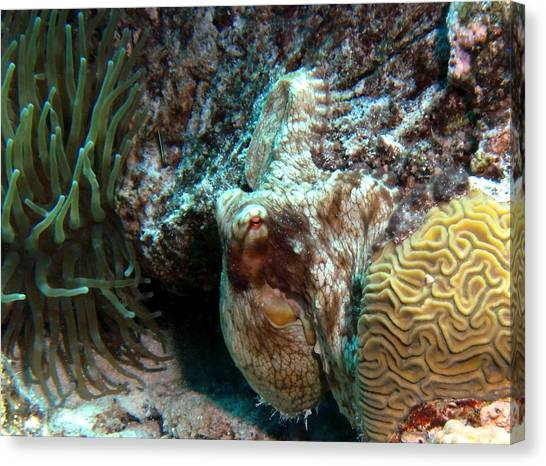 Caribbean Reef Octopus Next To Green Anemone Canvas Print