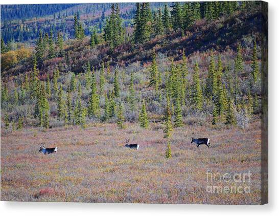 Canvas Print featuring the photograph Caribou In Alaska by Kate Avery