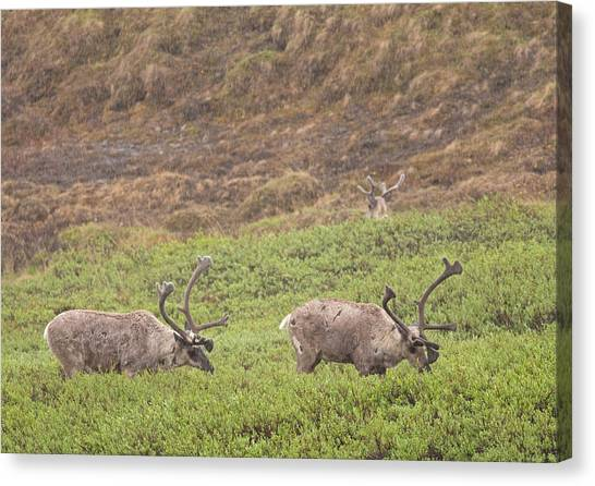 Caribou In The Rain Canvas Print by Brian Magnier
