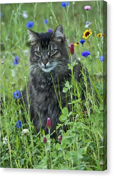 Main Coons Canvas Print - Carl by Teresa Dixon
