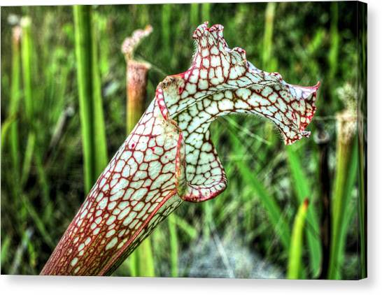 Carnivorous  Canvas Print by JC Findley