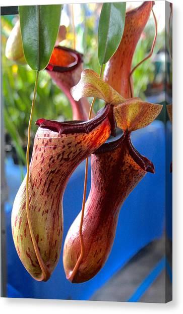Carnivorous Pitcher Plants Canvas Print