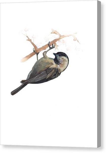 Carolina Chickadee Canvas Print by Rachel Root
