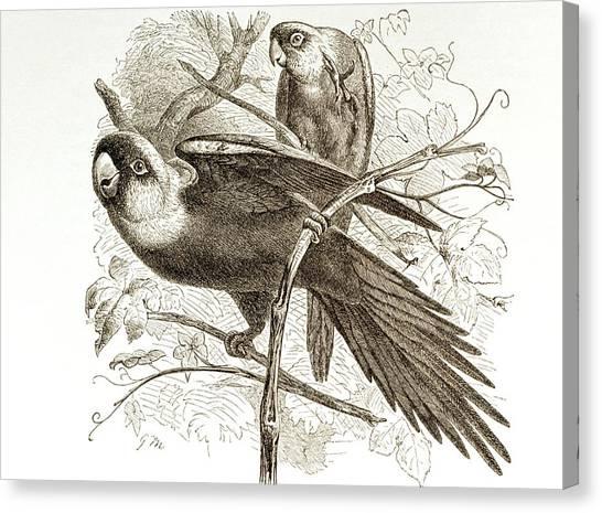 Parakeets Canvas Print - Carolina Parakeets by George Bernard/science Photo Library