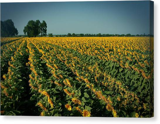 Cash Crop Canvas Print