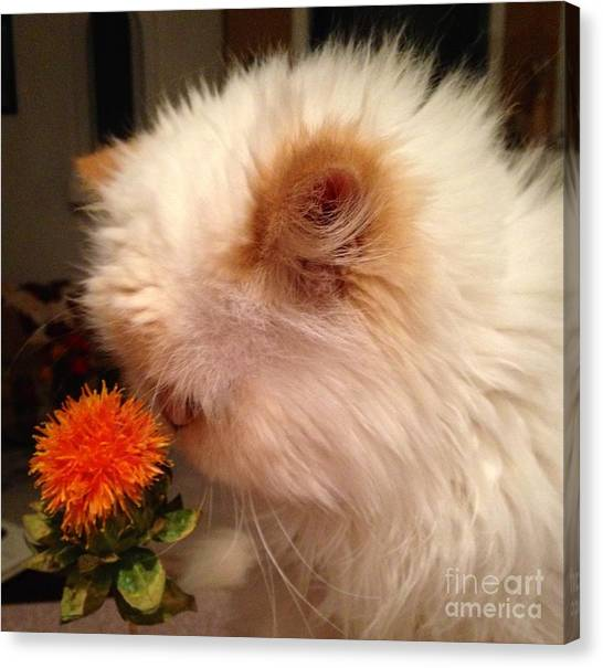 Himalayan Cats Canvas Print - Cat And His Flower by Carla Carson