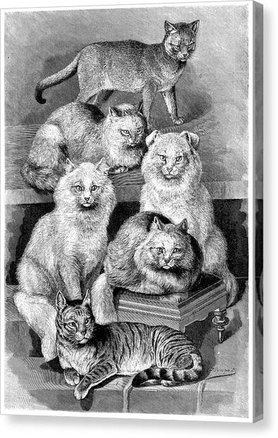 Chartreuxes Canvas Print - Cat Breeds by Science Photo Library