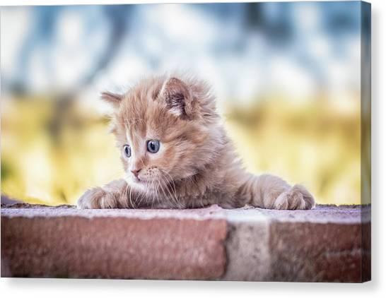 Kittens Canvas Print - Cat by Daniel Villalobos