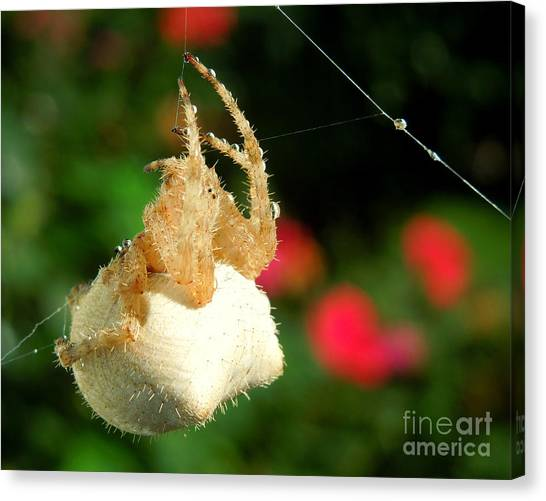 Cat-faced Spider With Pink Canvas Print