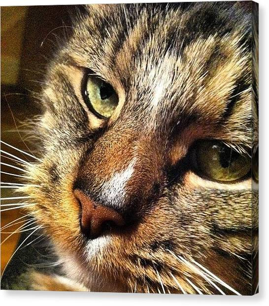 Keeper Canvas Print - #cat #instagram_of_cats #kitty #bigeyes by Nate Greenberg