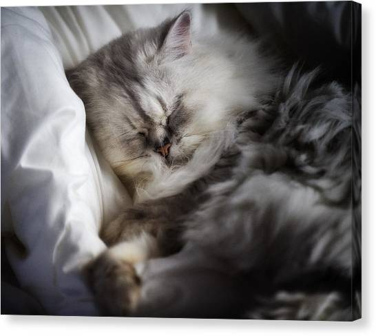 Himalayan Cats Canvas Print - Cat Nap And Snug Asleep by Don Harper