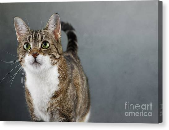 Cat Canvas Print - Cat Portrait by Nailia Schwarz