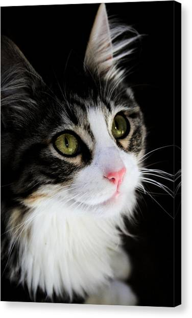 Main Coons Canvas Print - Cat Portrait by Sally Bauer