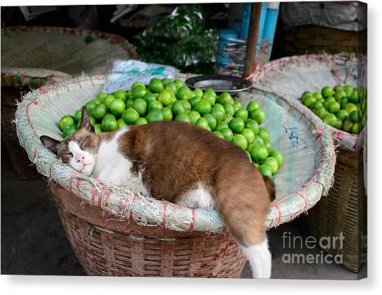 Cat Sleeping Among The Limes Canvas Print