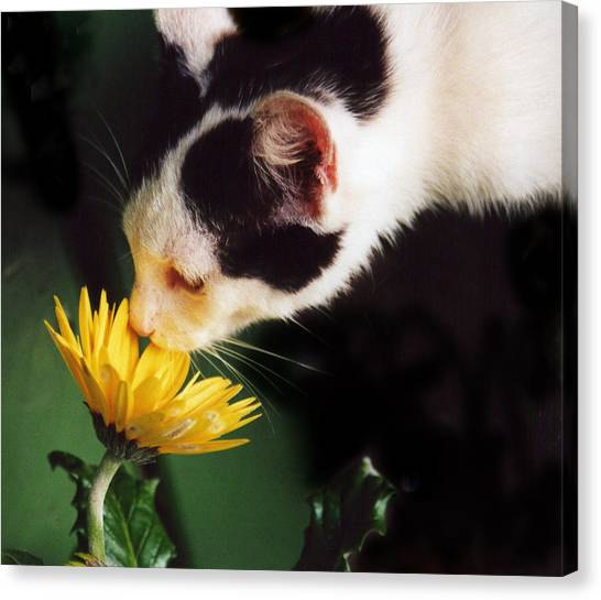 Cat Smelling Flower Canvas Print