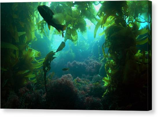 Catalina Kelp Forest Canvas Print