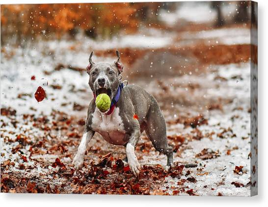Pitbulls Canvas Print - Catch The Ball. by Davorin Volav?ek