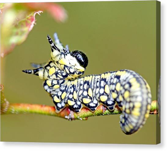 Caterpillar Canvas Print by Brian Magnier