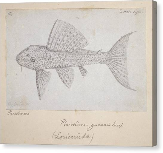 Catfish Canvas Print - Catfish by Natural History Museum, London