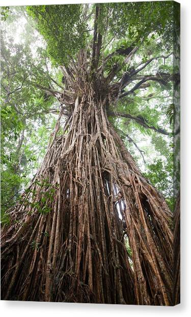 Daintree Rainforest Canvas Print - Cathedral Fig Tree by Ashley Cooper