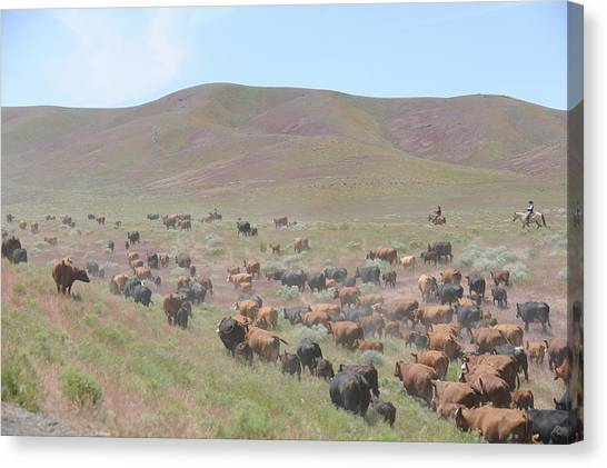Cattle Drive In The Spring Canvas Print by Lee Raine