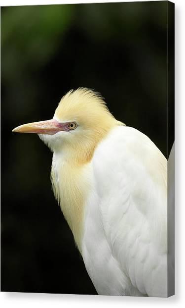 Ibis Canvas Print - Cattle Egret (ardea Ibis by David Wall