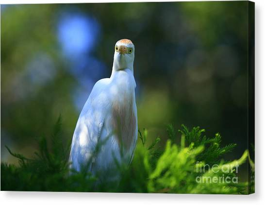 Cattle Egret Eyes Canvas Print