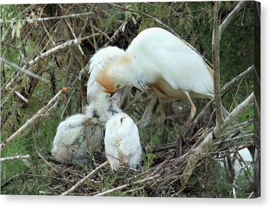 Ibis Canvas Print - Cattle Egret Feeding Its Hatchlings by Photostock-israel/science Photo Library