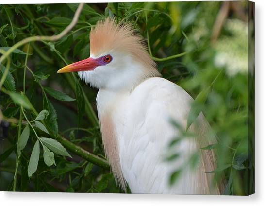 Cattle Egret In Breeding Season Canvas Print