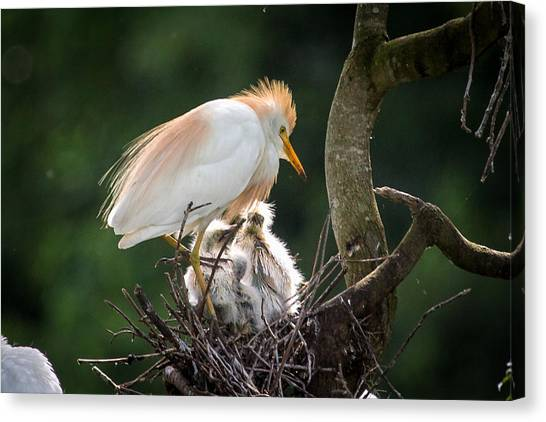 Cattle Egret Tending Her Nest Canvas Print