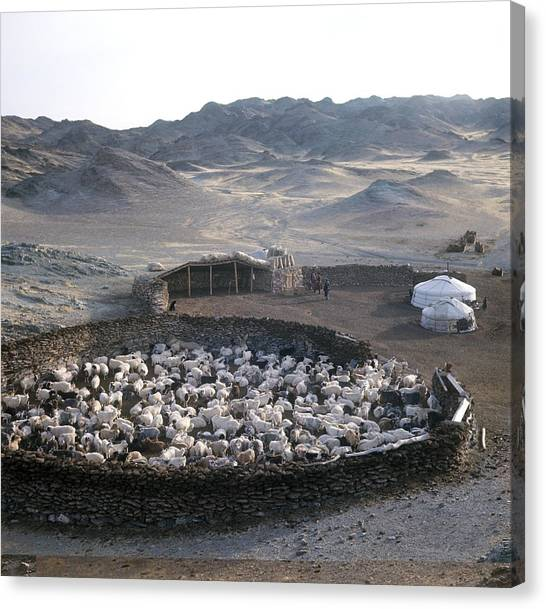 Gobi Desert Canvas Print - Cattle Farm, Mongolia by Science Photo Library