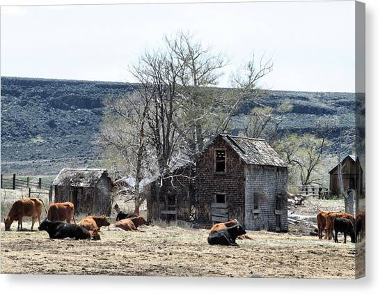 Cattle Flop House Canvas Print by Ray Finch