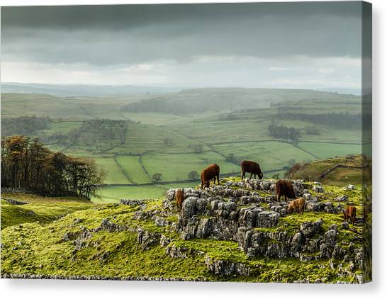 Cattle In The Yorkshire Dales Canvas Print