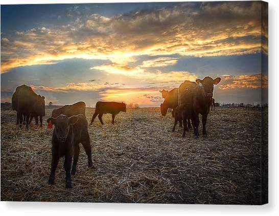 Prairie Sunsets Canvas Print - Cattle Sunset 2 by Thomas Zimmerman