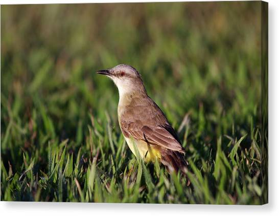Flycatchers Canvas Print - Cattle Tyrant by Paul Williams