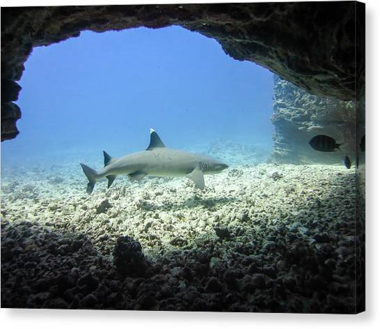 White Tip Sharks Canvas Print - Cave Shark by Bodhi Hutton