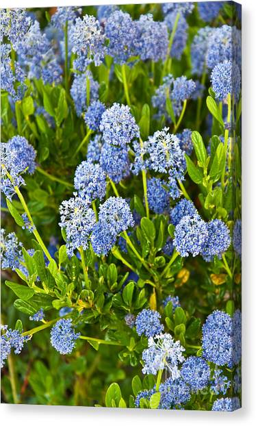 Ceanothus Impressus Santa Barbara Flowering Bush Canvas Print