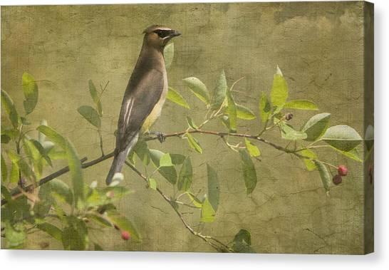 Cedar Waxwing Berry Pickin  Canvas Print