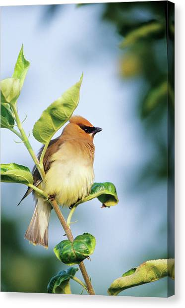 Cedar Waxwing Canvas Print - Cedar Waxwing (bombycilla Cedrorum by Richard and Susan Day