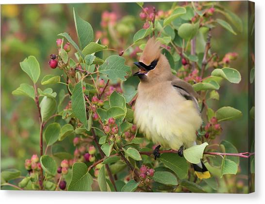 Cedar Waxwing Canvas Print - Cedar Waxwing On Blueberry Bush by Ken Archer