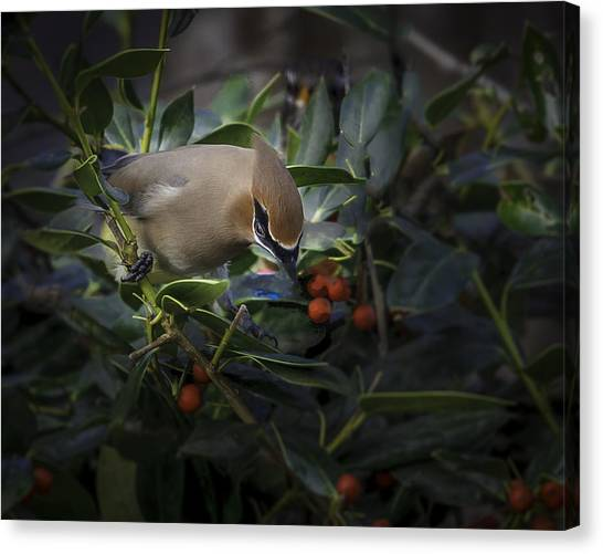 Cedar Waxwings  2012-2 Canvas Print