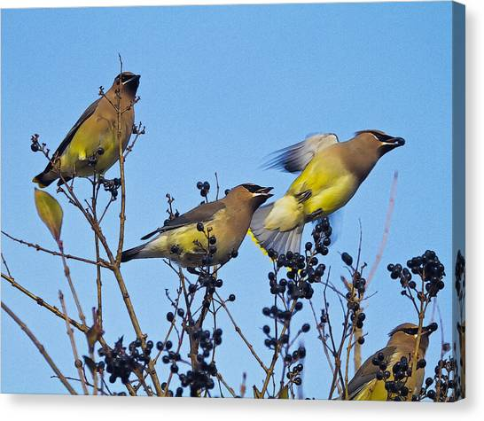 Cedar Waxwings And  Berries Canvas Print by Constantine Gregory