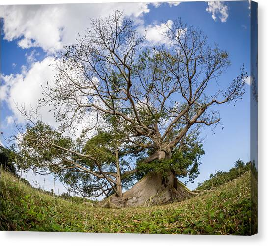 Ceiba Canvas Print by Carl Engman
