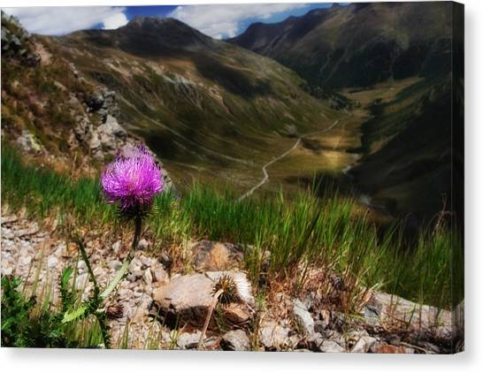 Centaurea Canvas Print