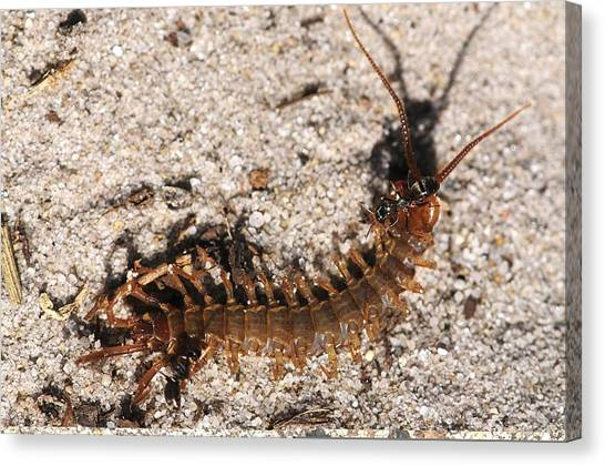 Centipedes Canvas Print - Centipede And Ants by Science Photo Library